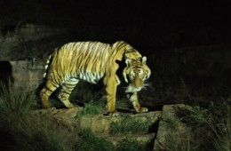 male-bengal-tiger-at-the-pretoria-zoo-night-tour