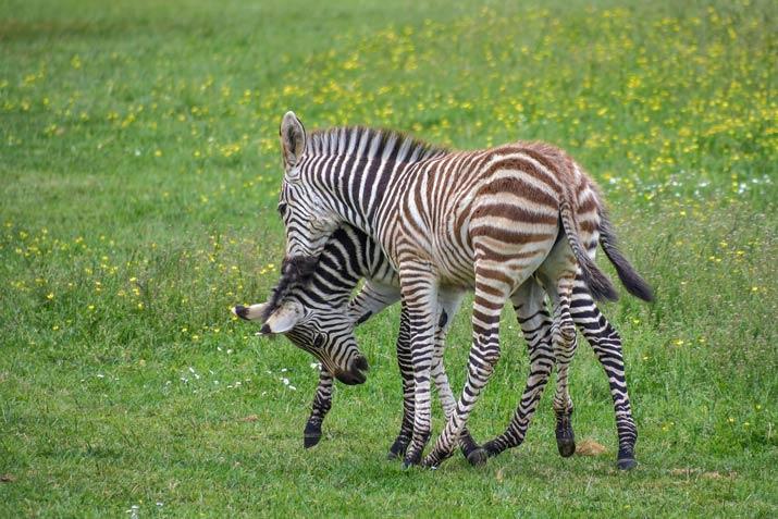 Bali-Safari-Park-Zebra-Photos-2