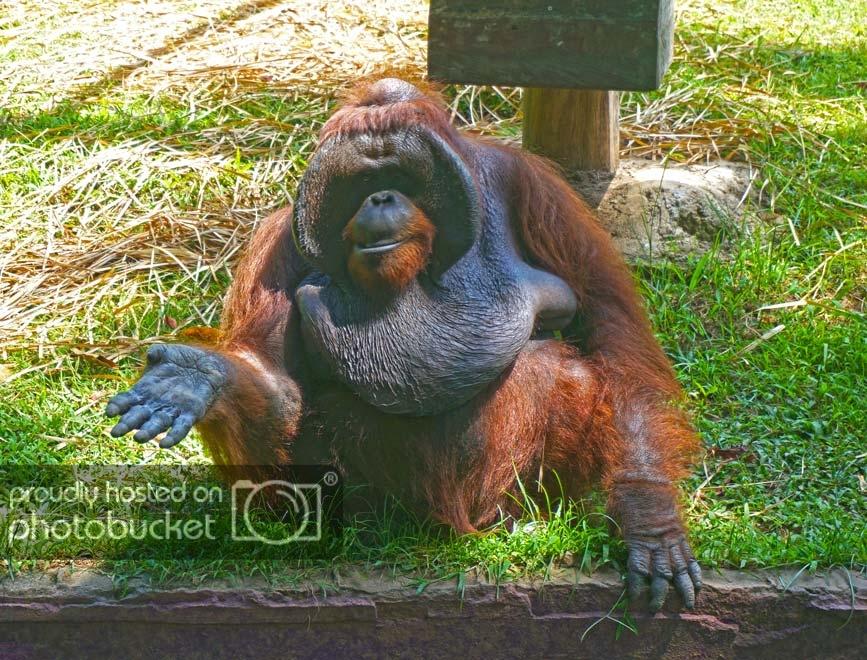 Travel_Indonesia_BaliZoo_Orangutan_zps91995d53